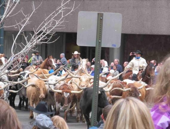 Stock show parade 015