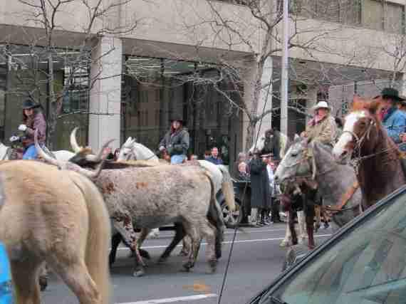 Stock show parade 019