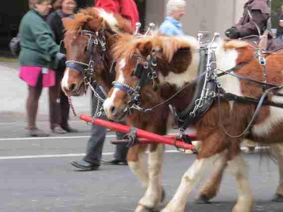 Stock show parade 081