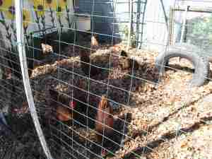 Rhode Island Reds are a pretty sturdy and reliable breed for egg-laying.