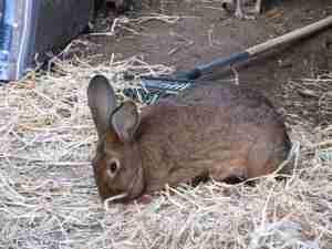 A meat rabbit.