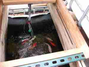 It looks like they use koi for their aquaponics, but a lot of people use tilapia since they can be eaten.