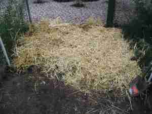 Step 4: Cover with several inches of straw or clean leaves. This will keep the seed moist until it can get roots established.